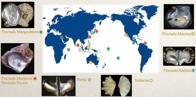 molluschi produttori perle d'acqua salata